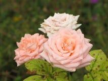 Rosas rosas claras Fotografía de archivo libre de regalías
