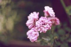 Rosas rosas claras en el jardín Foto de archivo