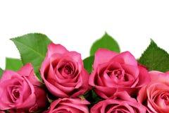 Rosas coloreadas Imagen de archivo libre de regalías