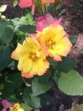 Rosas coloreadas multi Fotografía de archivo libre de regalías
