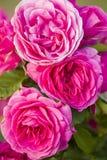 Rosas coloridas Fotografia de Stock Royalty Free
