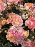 Rosas coloridas cor pastel no close up Fotos de Stock