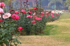 Rosas coloridas en Rose Garden nacional, Nueva Deli, la India Imágenes de archivo libres de regalías