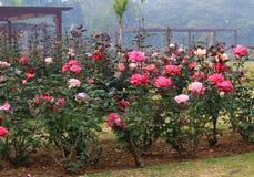 Rosas coloridas en Rose Garden nacional, Nueva Deli, la India Imagen de archivo libre de regalías