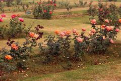 Rosas coloridas en Rose Garden nacional, Nueva Deli, la India Imagenes de archivo