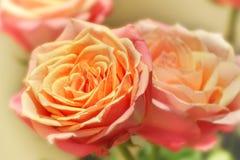 Rosas coloridas pêssego Fotografia de Stock