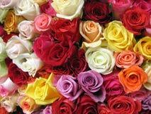 Rosas coloridos imagens de stock