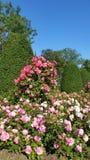 Rosas coloridos doces imagens de stock