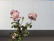 Rosas completamente sopladas de color salmón pálidas hermosas románticas gloriosas del rosa que florecen en otoño Fotografía de archivo