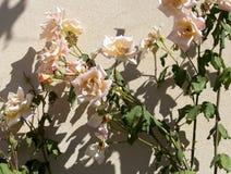 Rosas completamente sopladas de color salmón pálidas hermosas románticas gloriosas del rosa que florecen en otoño Fotos de archivo