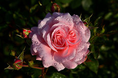 Rosas con descensos del agua Imagen de archivo libre de regalías