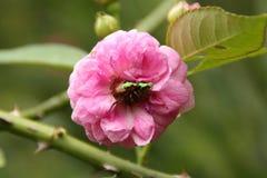 Rosas con el insecto Imágenes de archivo libres de regalías