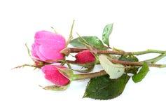 Rosas con gotas del agua, con una cortina. Foto de archivo