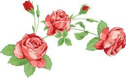 Rosas con las hojas Fotos de archivo libres de regalías