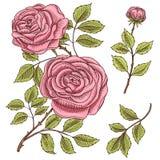 Rosas con las hojas y los brotes Casarse las flores botánicas en el jardín o la planta de la primavera ornamento o decoración Dis Foto de archivo libre de regalías