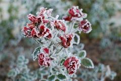 Rosas congeladas Foto de archivo libre de regalías