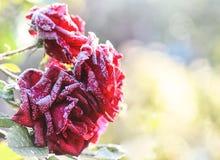 Rosas congeladas en jardín Imagenes de archivo
