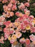 Rosas consideravelmente peachy Fotos de Stock