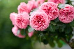 Rosas cor-de-rosa imagens de stock