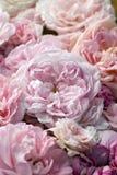 Rosas cor-de-rosa. Foto de Stock