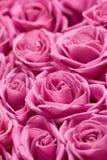 Rosas cor-de-rosa. imagens de stock