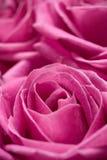 Rosas cor-de-rosa. imagens de stock royalty free
