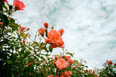 Rosas cor-de-rosa Fotos de Stock