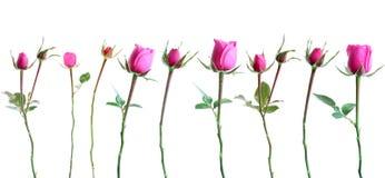 Rosas cor-de-rosa ajustadas, isoladas. Imagens de Stock