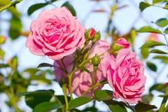 Rosas cor-de-rosa bonitas imagens de stock