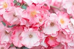 Rosas cor-de-rosa bonitas Fotos de Stock Royalty Free