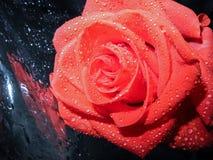 Rosas cor-de-rosa bonitas do inclinação no fundo preto fotos de stock royalty free