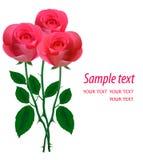 Rosas cor-de-rosa bonitas em um fundo branco. Vetor ilustração royalty free