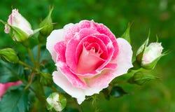 rosas Cor-de-rosa-brancas no fundo da grama verde Fotos de Stock Royalty Free