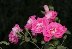 Rosas cor-de-rosa coloridas e vibrantes imagem de stock