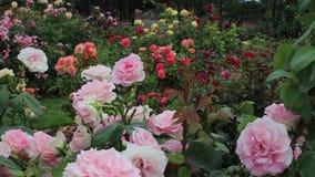 Rosas cor-de-rosa com amarelo alaranjado e rosas vermelhas no fundo filme