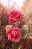 Rosas cor-de-rosa com waterdrops Fotos de Stock Royalty Free