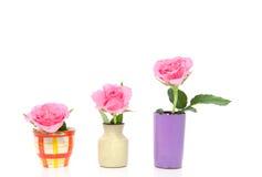Rosas cor-de-rosa da árvore Foto de Stock Royalty Free
