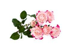 Rosas cor-de-rosa da flor no branco Fotos de Stock Royalty Free