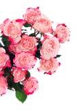 Rosas cor-de-rosa da flor no branco Imagem de Stock Royalty Free