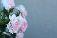 Rosas cor-de-rosa das flores no jardim foto de stock royalty free