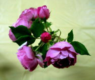 Rosas cor-de-rosa de florescência Fotos de Stock Royalty Free