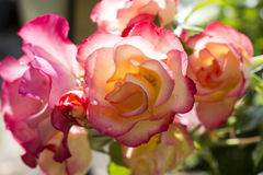 Rosas cor-de-rosa do jardim na flor Foto de Stock