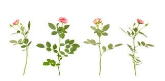 Rosas cor-de-rosa do jardim no branco Imagens de Stock