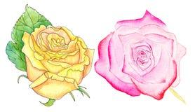 Rosas cor-de-rosa e amarelas, grupo da aquarela Fotos de Stock