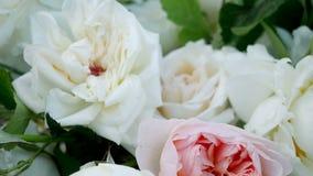 Rosas cor-de-rosa e brancas da peônia vídeos de arquivo