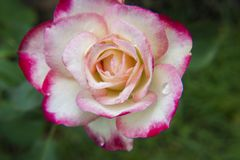 Rosas cor-de-rosa e brancas no jardim/Rose Garden tropical Fotos de Stock Royalty Free