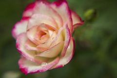 Rosas cor-de-rosa e brancas no jardim/Rose Garden tropical Foto de Stock Royalty Free
