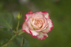 Rosas cor-de-rosa e brancas no jardim/Rose Garden tropical Fotos de Stock