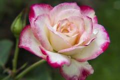 Rosas cor-de-rosa e brancas no jardim/Rose Garden tropical Imagem de Stock Royalty Free