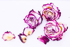 Rosas cor-de-rosa e brancas secadas Foto de Stock Royalty Free